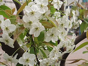 Pyrus × bretschneideri - Chinese white pear flower