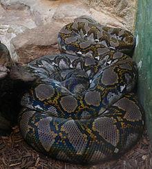 Python reticulatus (1).jpg
