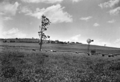 Queensland State Archives 2165 Cattle grazing in sudan grass with maize in the background Corndale Kingaroy district 1945.png