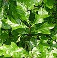 Quercus-georgiana.jpg