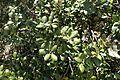 Quercus alnifolia 06.jpg