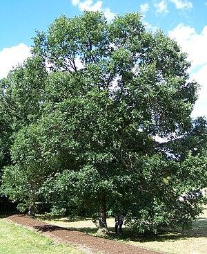 Quercus bicolor - Morton Arboretum acc. 71-69-2