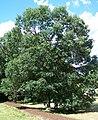 Quercus bicolor morton acc 71-69-2.jpg