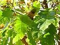 Quercus cerris LeavesandAcorn 2009November5 DehesaBoyaldePuertollano.jpg