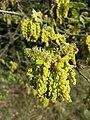 Quercus pubescens sl15.jpg