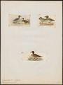 Querquedula carolinensis - 1700-1880 - Print - Iconographia Zoologica - Special Collections University of Amsterdam - UBA01 IZ17600441.tif