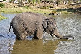 Raghu Juvenile Camp Elephant Bathing Theppakadu Mudumalai Mar21 A7C 00611.jpg