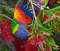Rainbow Lorikeet at Merimbula.jpg