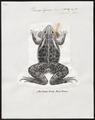 Rana tigrina - 1700-1880 - Print - Iconographia Zoologica - Special Collections University of Amsterdam - UBA01 IZ11500009.tif