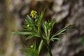 Ranunculus allegheniensis PA.jpg