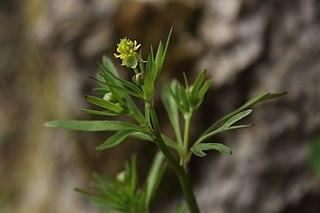<i>Ranunculus allegheniensis</i> Species of flowering plant