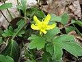 Ranunculus fascicularis.jpg