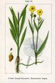 Ranunculus lingua Sturm47.jpg