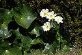 Ranunculus lyallii kz03.jpg