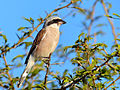Red-backed Shrike (Lanius collurio) (13995785674).jpg