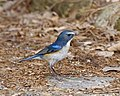 Red-flanked Bluetail male Kyoto - Lip Kee 5.jpg