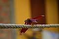 Red Dragonfly in Nalbari, Assam, India.jpg