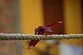 Red Dragonfly in Nalbari, Assam, India.jpg