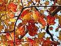 Red Maple (30980252432).jpg