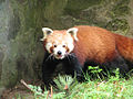 Red Panda at Edinburgh Zoo.jpg