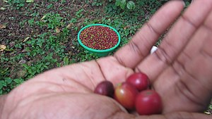 Coffee production in Uganda - Image: Red coffee berries