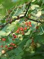 Redcurrant (Ribes rubrum).JPG