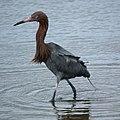 Reddish Egret- Bolsa Chica Wetlands (4411997871).jpg