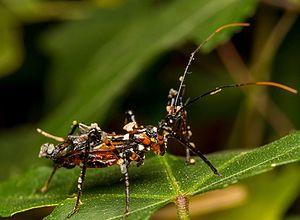 Reduviidae - A reduviid camouflaged with debris, Australia