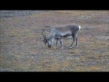 Datei:Reindeer Svalbard.ogv
