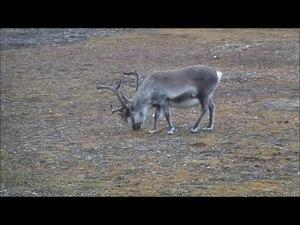File:Reindeer Svalbard.ogv