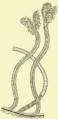 Rhabdopleura normani Sedgwick.png