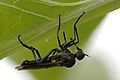 Rhamphomyia.crassirostris.jpg