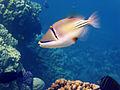 Rhinecanthus assasi - Rotmeer-Picassodrueckerfisch 0945.jpg