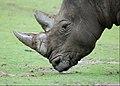 Rhinoceros (4872071091).jpg