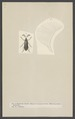 Rhipidocera - Print - Iconographia Zoologica - Special Collections University of Amsterdam - UBAINV0274 001 07 0024.tif