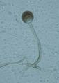 Rhizopus microsporus.png