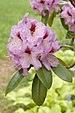 Rhododendron 'A. Bedford' Flowers 2000px.jpg