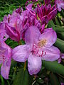 Rhododendron catawbiense 15.JPG