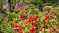 Rhododendron in Noshiro Park 20190519b.jpg