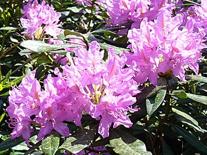 English: Rhododendron in The Roughs These purp...