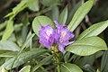 Rhododendron ponticum - Eastern Black Sea Rhododendron, Giresun 2018-08-20 01.jpg