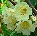 Rhododendron yiliangense 2.jpg