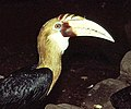 Rhyticeros plicatus, Papuan Hornbill (12737760213).jpg
