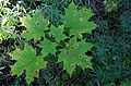 Rhytisma acerinum 154913435.jpg