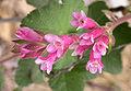 Ribes malvaceum flowers 2004-02-23.jpg