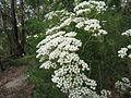 Rice Flower (5190723091).jpg