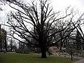 Riga, strom v parku v centru města.jpg