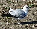 Ring-billed Gull, Laguna Lake, California.jpg