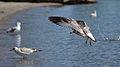Ring-billed Gulls (Larus delawarensis) - Mississauga, Ontario.jpg