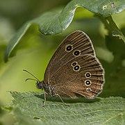 Ringlet (Aphantopus hyperantus) underside.jpg